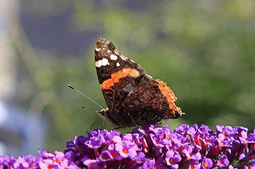 BioBlitz butterfly