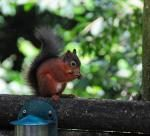 Mike Faulkner's red squirrel